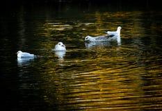 Gabbiani nell'acqua immagini stock libere da diritti