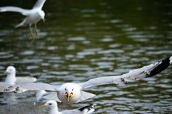 Gabbiani nello stagno di estate Fotografie Stock Libere da Diritti