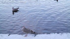 Gabbiani in neve Fotografia Stock Libera da Diritti