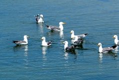 Gabbiani o specie di larus su acqua Ilha Culatra Algarve Portogallo immagine stock libera da diritti