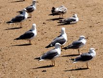 Gabbiani o specie di larus su Ilha Culatra Algarve Portogallo fotografie stock libere da diritti