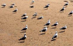 Gabbiani o specie di larus su Sandy Beach On Ilha Culatra Algarve Portogallo fotografia stock