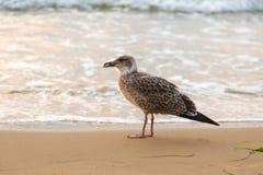 Gabbiani orma, spiaggia della sabbia Immagini Stock
