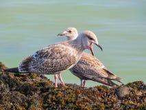 Gabbiani reali nordici giovanili sulle rocce dell'isola del Jersey Fotografia Stock Libera da Diritti