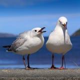 Gabbiani selvaggi su una spiaggia Fotografia Stock