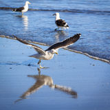 Gabbiani selvaggi su una spiaggia Immagini Stock Libere da Diritti