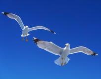Gabbiani sopra il mare Immagini Stock Libere da Diritti