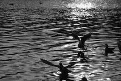 Gabbiani sopra l'acqua Immagine Stock