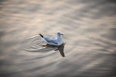 Gabbiani su acqua Fotografia Stock