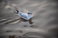 Gabbiani su acqua Fotografie Stock Libere da Diritti