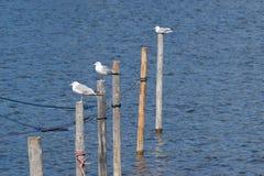 Gabbiani sui pali di legno nel porto fluviale fotografie stock libere da diritti