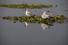 Gabbiani sul giacinto d'acqua Fotografie Stock
