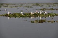 Gabbiani sul giacinto d'acqua Fotografia Stock