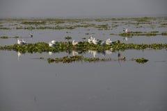 Gabbiani sul giacinto d'acqua Fotografie Stock Libere da Diritti