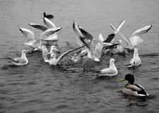 Gabbiani sul lago Immagine Stock