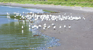 Gabbiani sul litorale Fotografia Stock