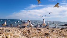 Gabbiani sul primo piano della spiaggia, gabbiani che mangiano sulla spiaggia in un movimento lento archivi video