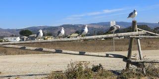 Gabbiani sul recinto di ferrovia di legno Immagini Stock Libere da Diritti