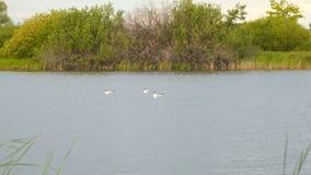 Gabbiani sull'acqua del lago video d archivio