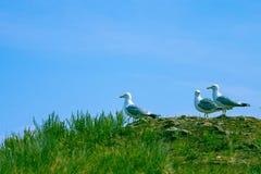 Gabbiani sull'erba fotografia stock libera da diritti