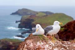 Gabbiani sulla penisola di Ponta de Sao Lourenco, isola del Madera, Portogallo fotografie stock libere da diritti