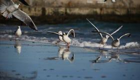 Gabbiani sulla riva del Mar Nero Immagini Stock