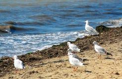 Gabbiani sulla spiaggia Immagini Stock
