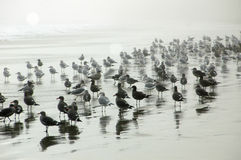Gabbiani sulla spiaggia nebbiosa immagini stock libere da diritti