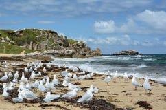 Gabbiani sulla spiaggia occidentale Isola del pinguino Parco marino delle isole di Shoalwater Rockingham Australia occidentale Fotografia Stock Libera da Diritti