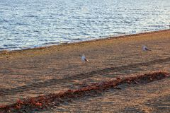 Gabbiani sulla spiaggia sabbiosa Fotografia Stock