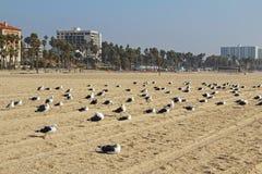 Gabbiani sulla spiaggia in Santa Monica, California, U.S.A. Immagine Stock