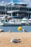 Gabbiani sulla spiaggia, sulle barche del pescatore e sulla nave da crociera Immagini Stock Libere da Diritti