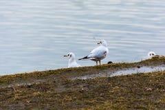 Gabbiani sulla sponda del fiume Fotografia Stock
