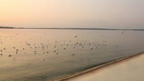 Gabbiani sulla superficie dell'acqua al tramonto stock footage