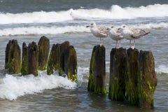 Gabbiani sulla talpa durante il tempo ventoso Fotografia Stock Libera da Diritti