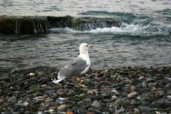 Gabbiani sulle pietre nel mare un giorno nuvoloso fotografie stock libere da diritti
