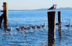 Gabbiani sulle reti dello squalo Fotografia Stock Libera da Diritti