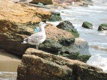 Gabbiani sulle rocce Fotografie Stock Libere da Diritti