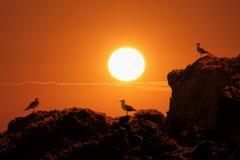 Gabbiani sulle rocce e sul tramonto fotografia stock libera da diritti