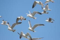 Gabbiani in un cielo blu Fotografia Stock
