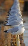 Gabbiani in una fila Immagini Stock