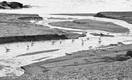 Gabbiani in una fila nel fiume Fotografia Stock Libera da Diritti