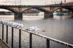 Gabbiani vicino al fiume della Moldava ed al ponte di Palacky a Praga, repubblica Ceca Immagini Stock