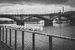Gabbiani vicino al fiume della Moldava ed al ponte di Palacky a Praga, repubblica Ceca Immagine Stock Libera da Diritti