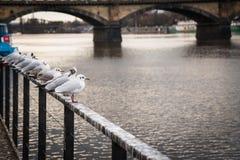 Gabbiani vicino al fiume della Moldava ed al ponte di Palacky a Praga, repubblica Ceca Fotografia Stock