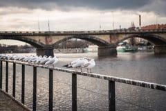 Gabbiani vicino al fiume della Moldava ed al ponte di Palacky a Praga, repubblica Ceca Fotografia Stock Libera da Diritti