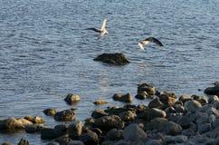 Gabbiani vicino alla riva di mare Immagini Stock Libere da Diritti