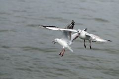Gabbiani volanti, siluetta di vista laterale Gabbiano che insegue pesce fotografia stock libera da diritti