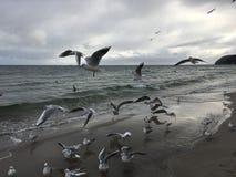 Gabbiani volanti sulla spiaggia a Gdynia giorno nuvoloso fotografie stock libere da diritti