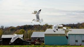 Gabbiani in volo Fotografia Stock Libera da Diritti